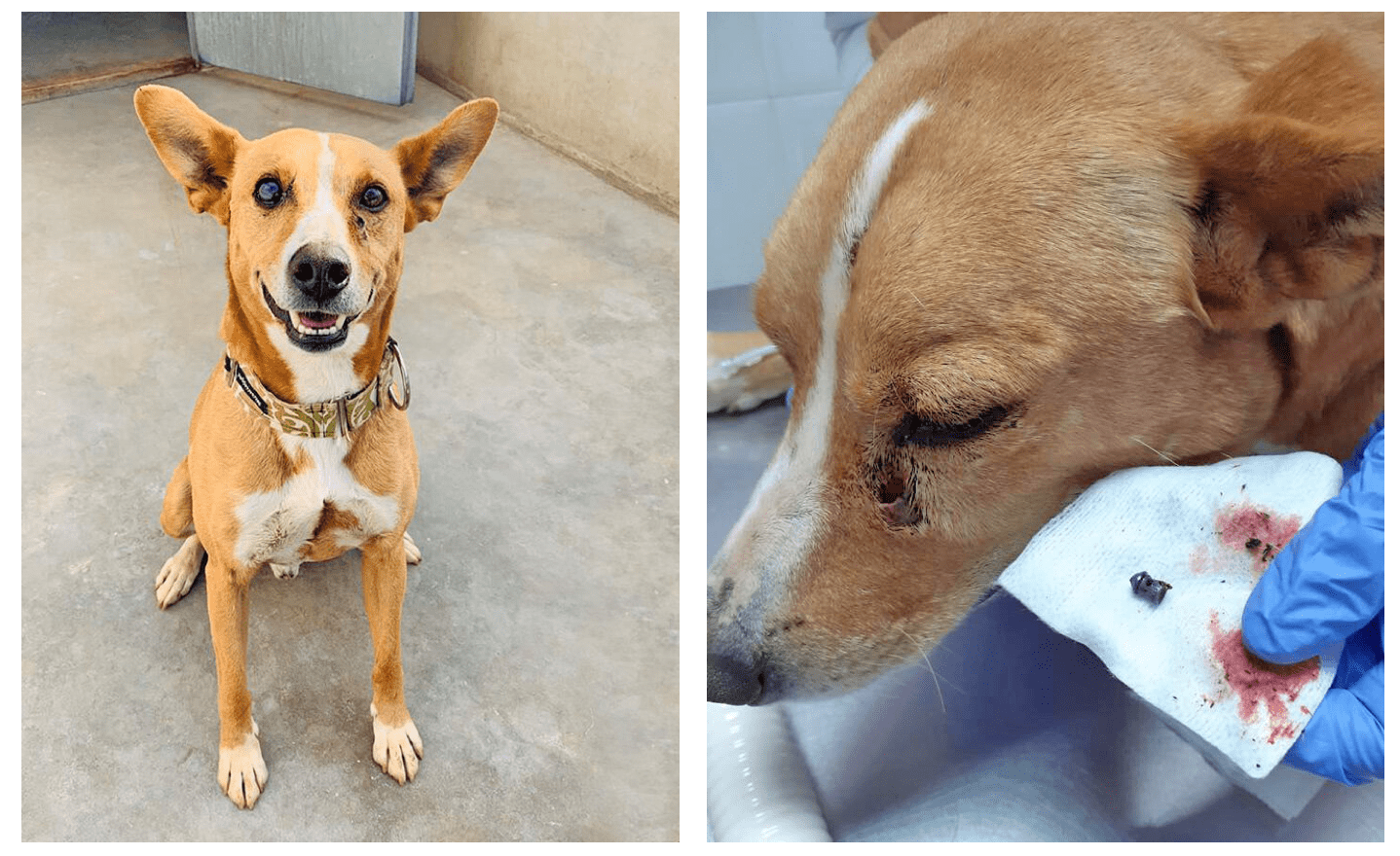 adopting a dog from Spain podenco